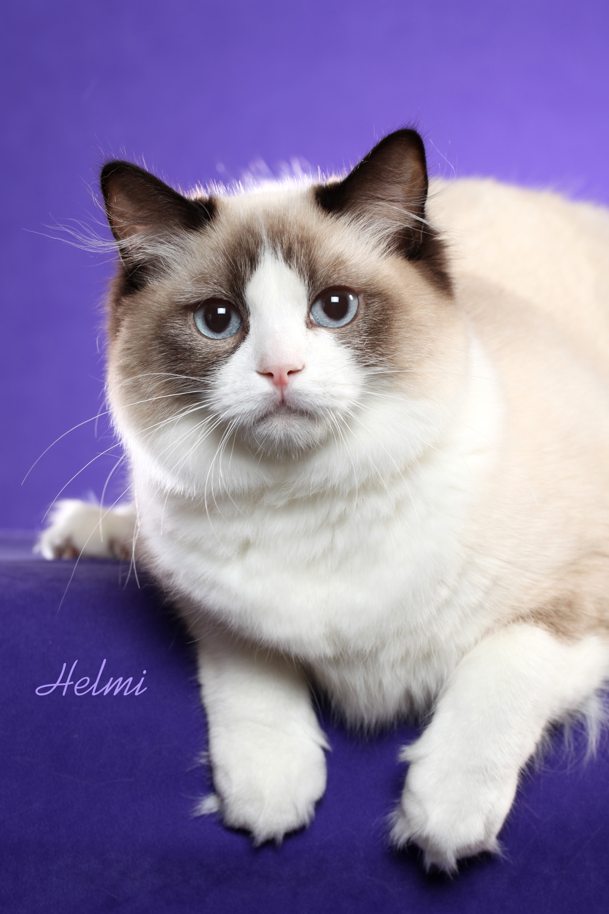 Ragdoll cat where to – Popular breeds of cats photo blog
